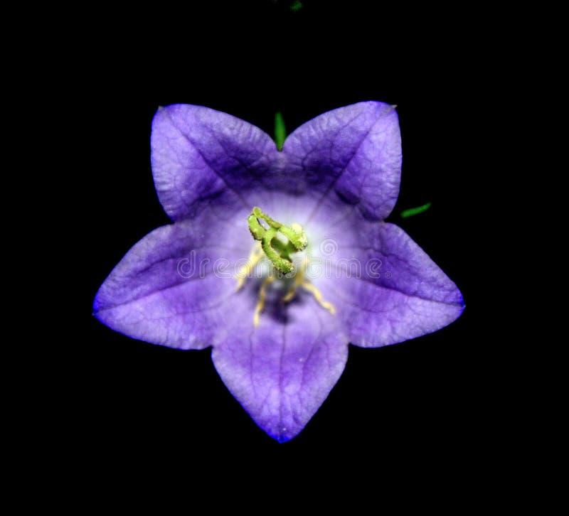 Glockenblume latifolia lizenzfreies stockfoto