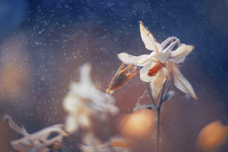 Glockenblume in watter Tropfen stockbilder
