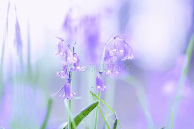 Glockenblumeblumen, die im britischen Waldland während des Frühjahres blühen lizenzfreies stockfoto