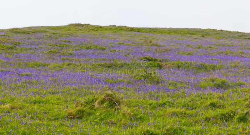 Glockenblumen auf einem Gebiet im Frühjahr stockbild