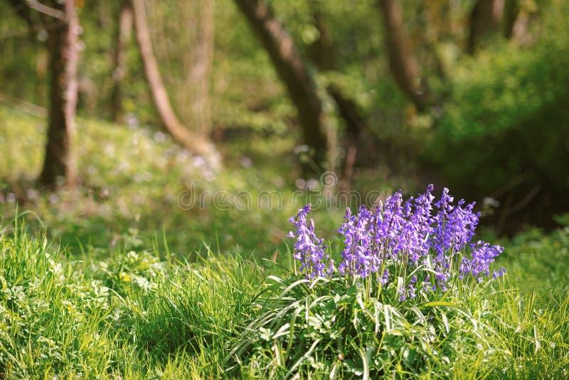 Glockenblumen im Holz im Frühjahr lizenzfreie stockbilder