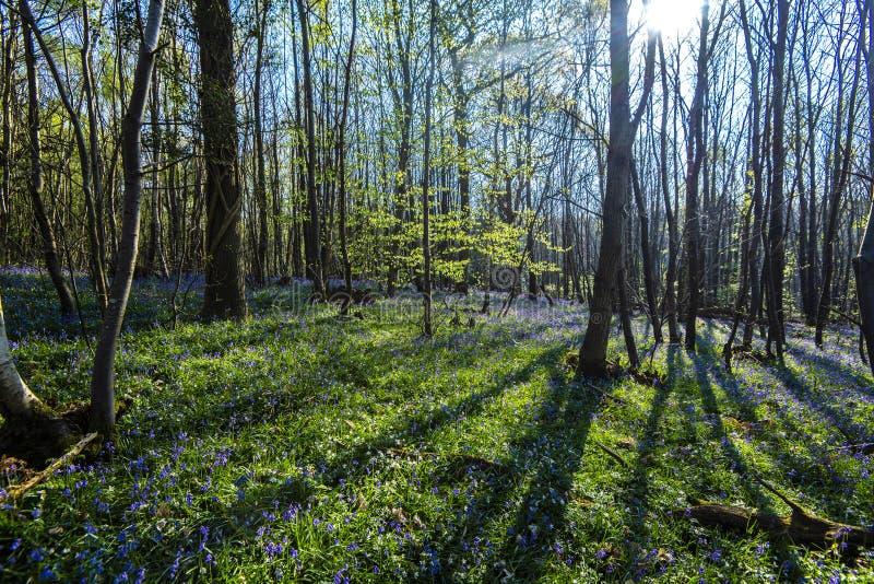 Glockenblumen im Vorderholz, Crowhurst, East Sussex, England stockbilder
