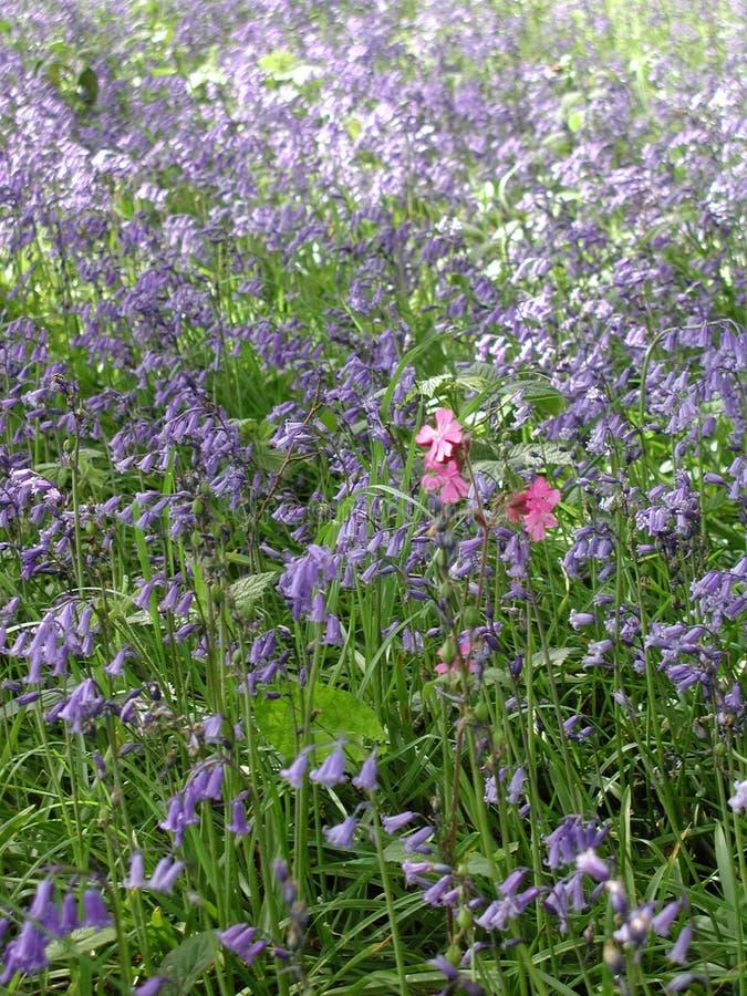 Glockenblumen im Wald am Frühjahr lizenzfreie stockbilder
