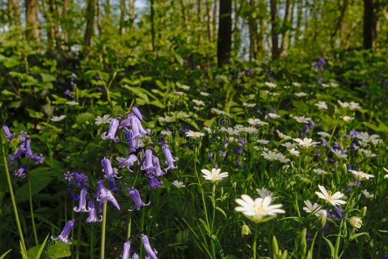 Glockenblumen und Buschwindröschen im Wald lizenzfreies stockfoto