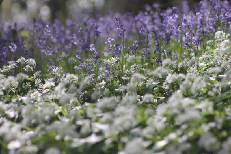 Glockenblumen und Knoblauch stockfoto