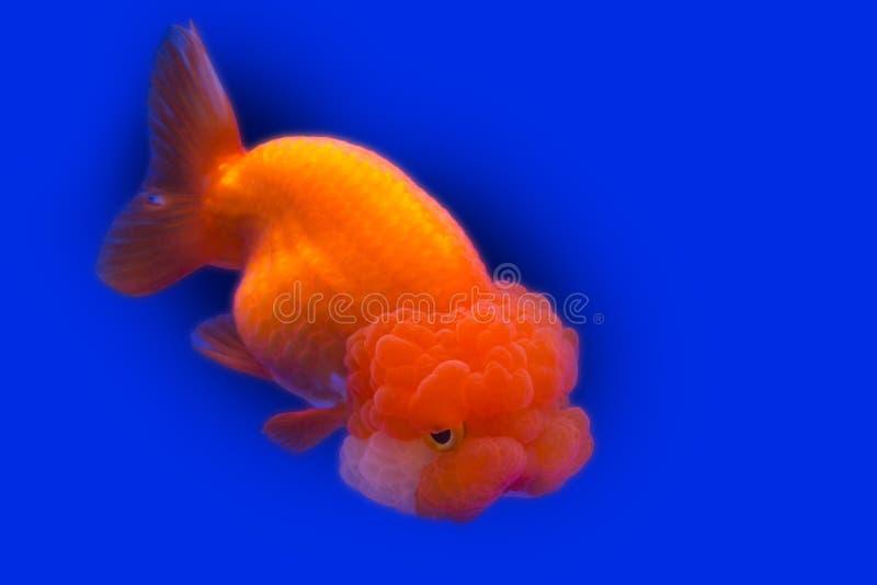 Glod  fisk  djur  på  blå  bakgrund fotografering för bildbyråer