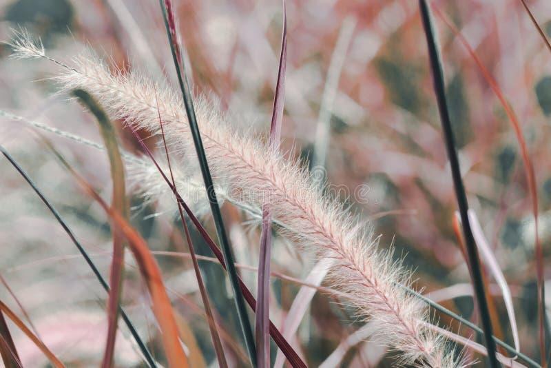 Колоски сухой травы Gloden в мягком фокусе в конце-вверх заходящего солнца Естественная предпосылка r стоковая фотография