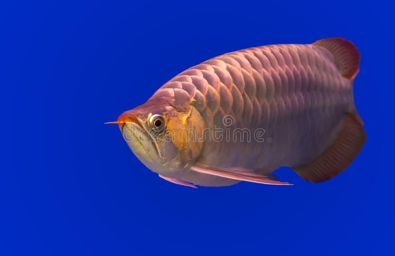 Gloden Arowana fish royalty free stock photos