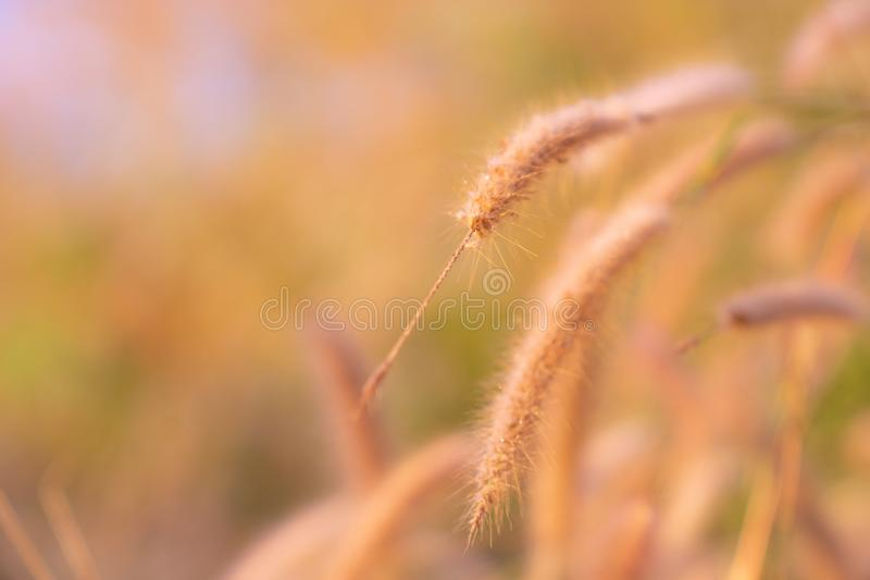 Dry Grass spikelets in soft focus in the setting sun close-up. Natural background royalty free stock photography