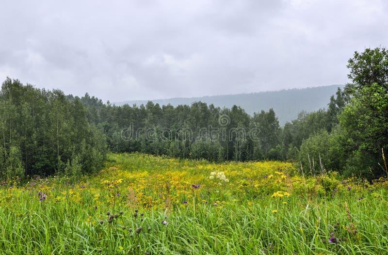 Gloeiende tot bloei komende bosopen plek met gele wilde bloemen bij mistige dag royalty-vrije stock foto's