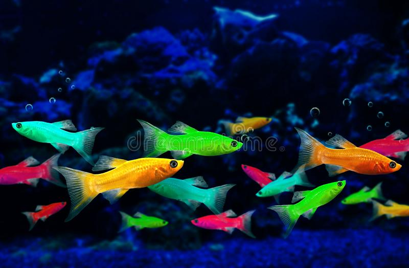 Glofish, genetically engineered fluorescent fish. In an aquarium. Background with copy space stock photos