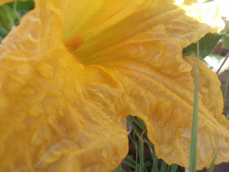 Gloire de matin jaune images stock