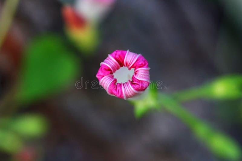 Gloire de matin rose photographie stock libre de droits