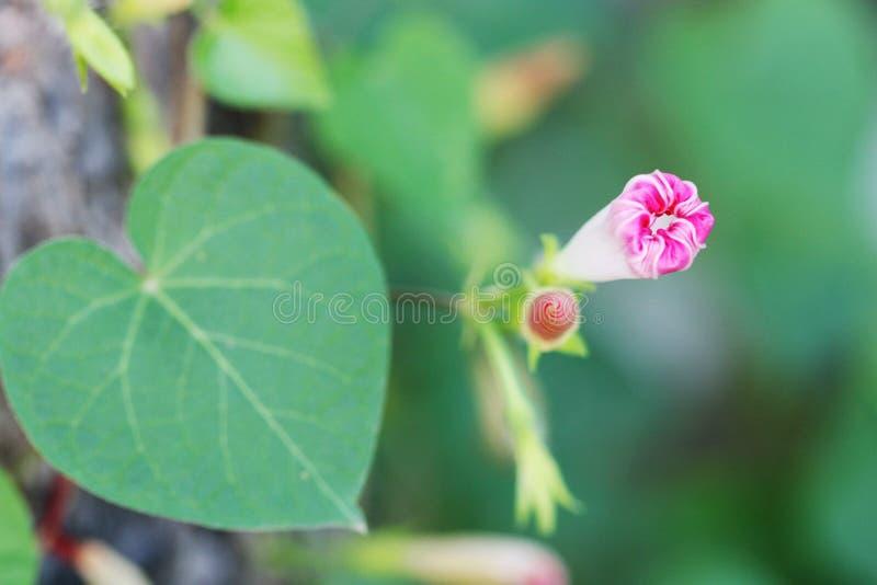 Gloire de matin rose avec un bourgeon photographie stock libre de droits