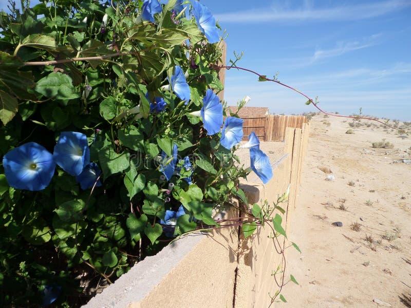 Gloires de matin bleues fleurissant dans le haut désert image stock