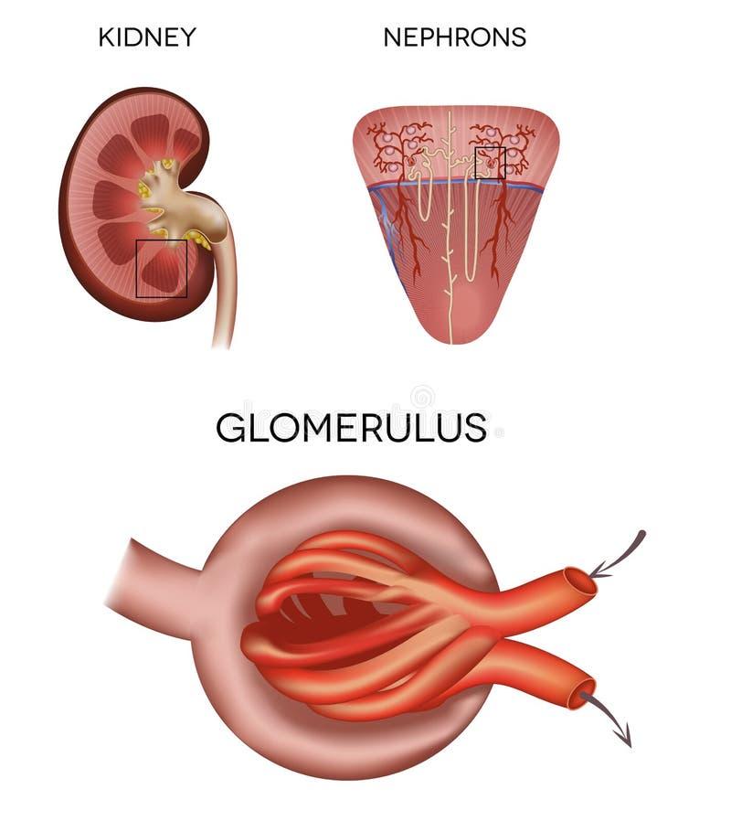 Glomérulo a la parte del riñón ilustración del vector