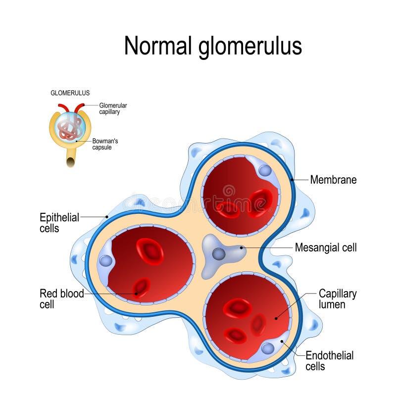 Nephron Structure Stock Vector  Illustration Of Glomerulus