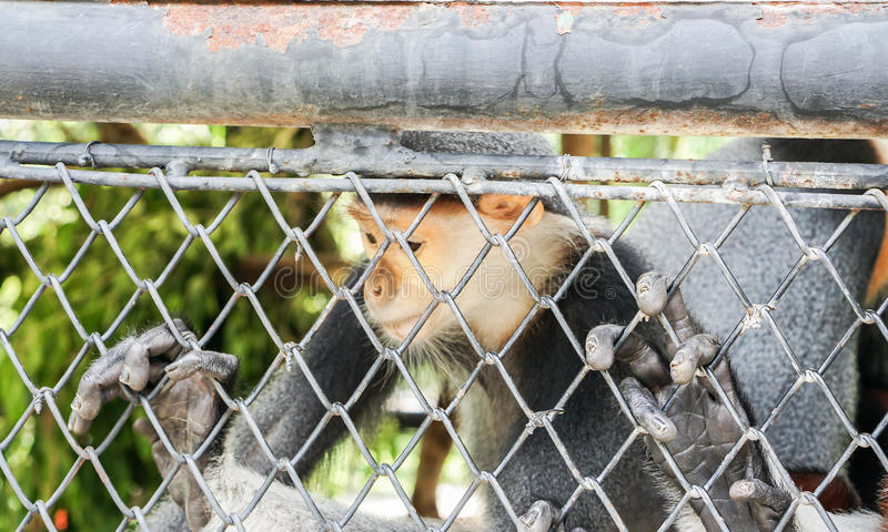 Inactive Langur in the cage in zoo. Gloom and inactive Langur in the cage in zoo stock image