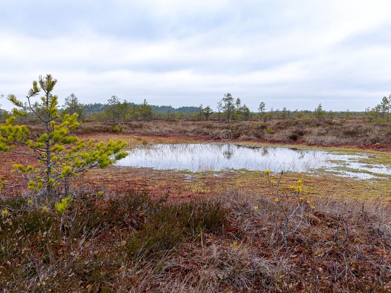 Gloomy bog landscape, grass, moss and swamp pines. Gloomy swamp landscape, grass, colorful moss and swamp pines, swamp ponds with turbulent water royalty free stock photo