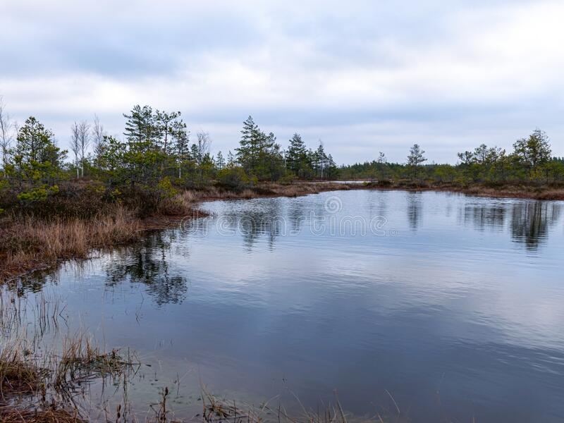 Gloomy bog landscape, grass, moss and swamp pines. Gloomy swamp landscape, grass, colorful moss and swamp pines, swamp ponds with turbulent water stock images