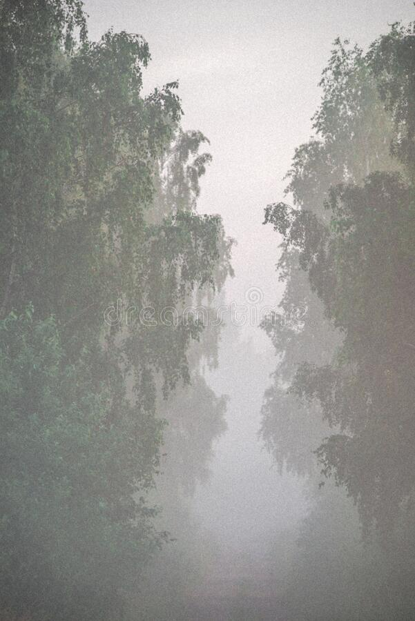 gloomy day morning, tree tunnel and forest path in mist royalty free stock photos