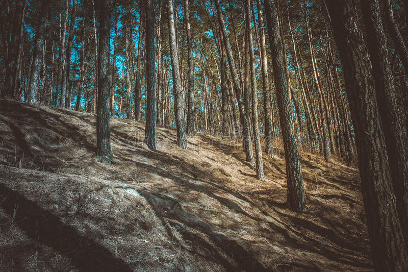 Gloomy forest royalty free stock images