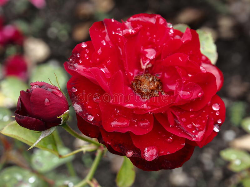 Gloomy red rose royalty free stock photo