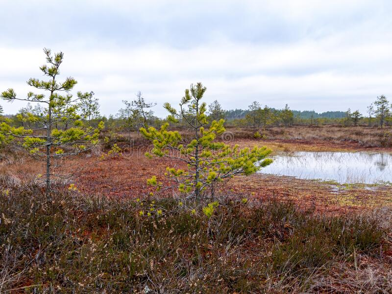 Gloomy bog landscape, grass, moss and swamp pines. Gloomy swamp landscape, grass, colorful moss and swamp pines, swamp ponds with turbulent water royalty free stock photography