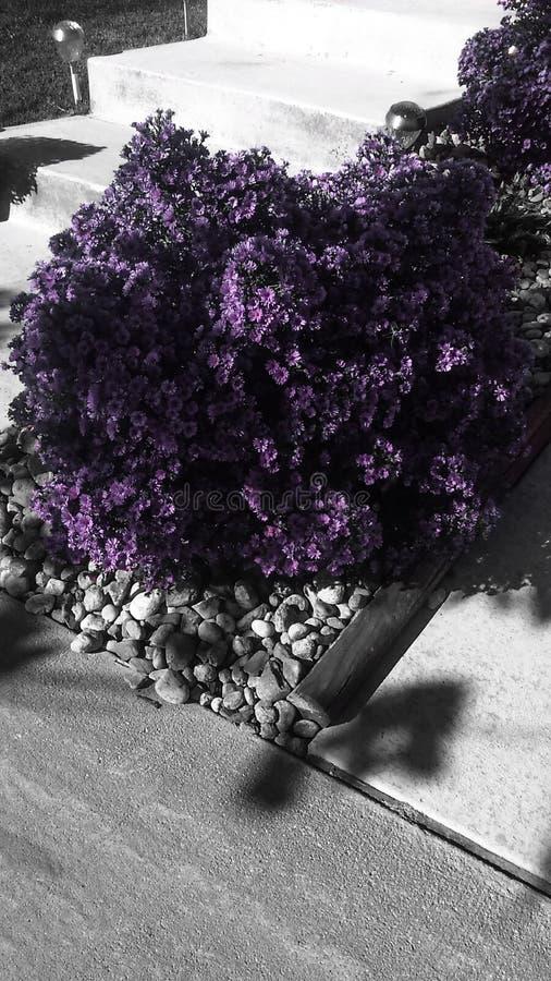 Gloria púrpura imagen de archivo libre de regalías