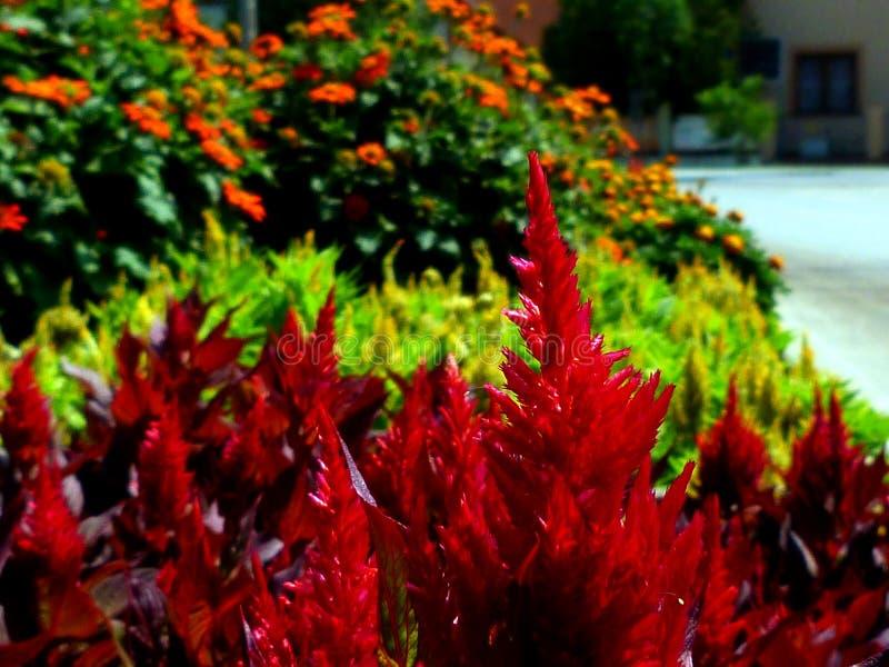 Glorierijke Rode hanekambloemen met onscherpe oranje madeliefjes stock afbeeldingen