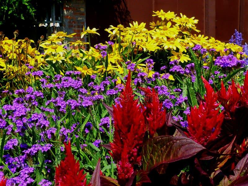 Glorierijke Rode hanekambloemen met onscherpe oranje madeliefjes royalty-vrije stock foto's