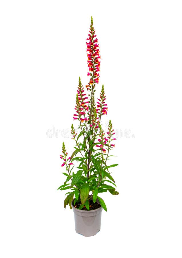 Glorious Digitalis Foxglove. Picture of a potted Digitalis plant isolated on a white background stock images