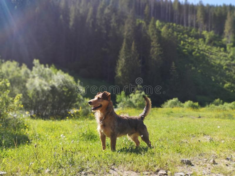 Glorious dog standing against mountain background stock photos