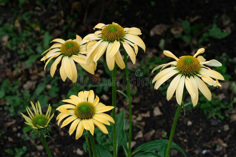Glorious Echinacea Cheyenne Spirit. Picture of yellow Daisies in a flower bed with a dark background royalty free stock images