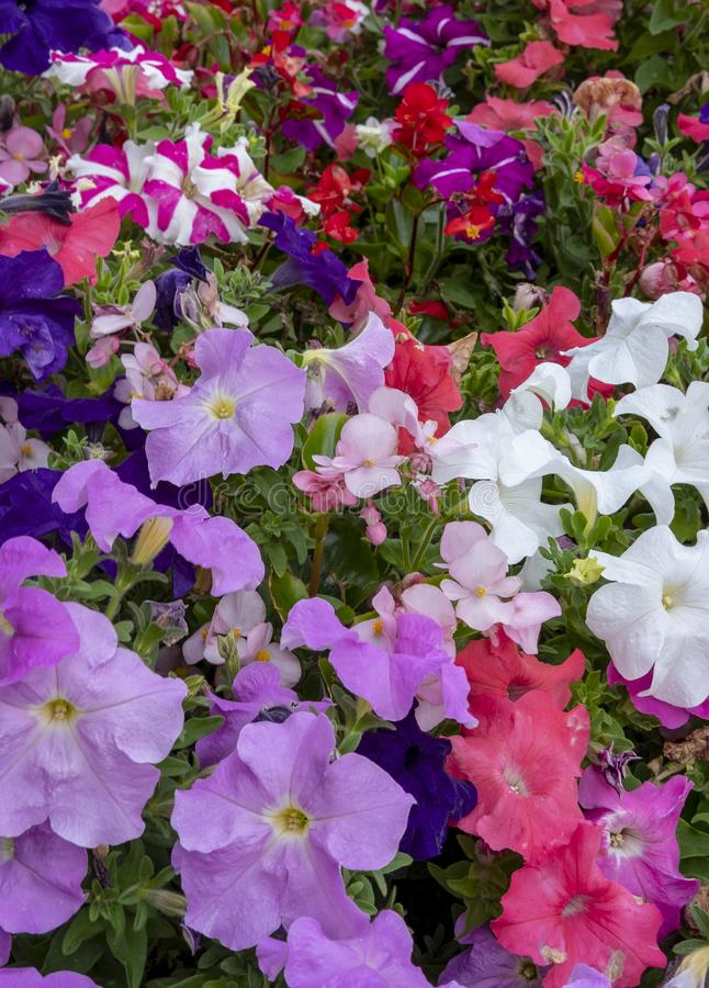 Glorious multi coloured Petunias. View of multi coloured Petunias tightly packed together in a flower display stock images
