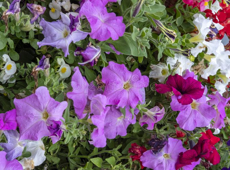 Glorious multi coloured Petunias. View of multi coloured Petunias tightly packed together in a flower display stock image