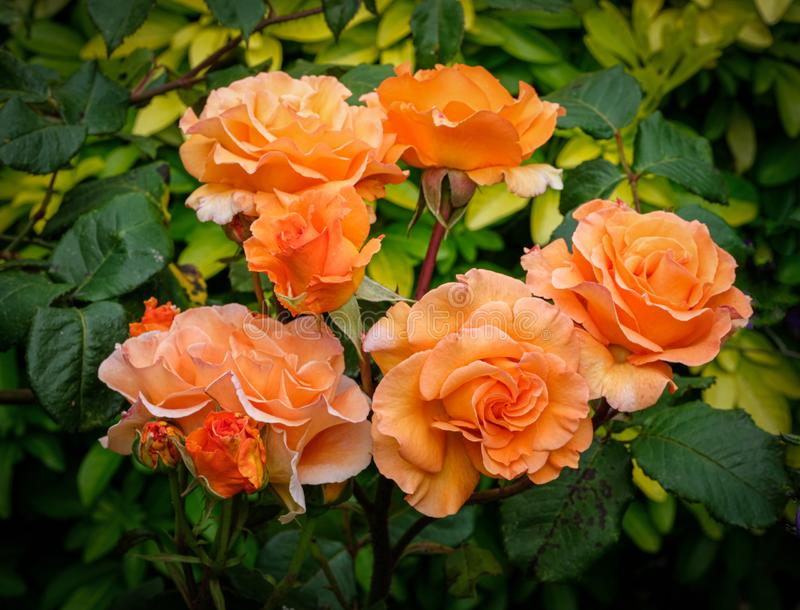 Glorious Orange Roses. Picture of orange Roses in a flower bed with a dark background stock photo