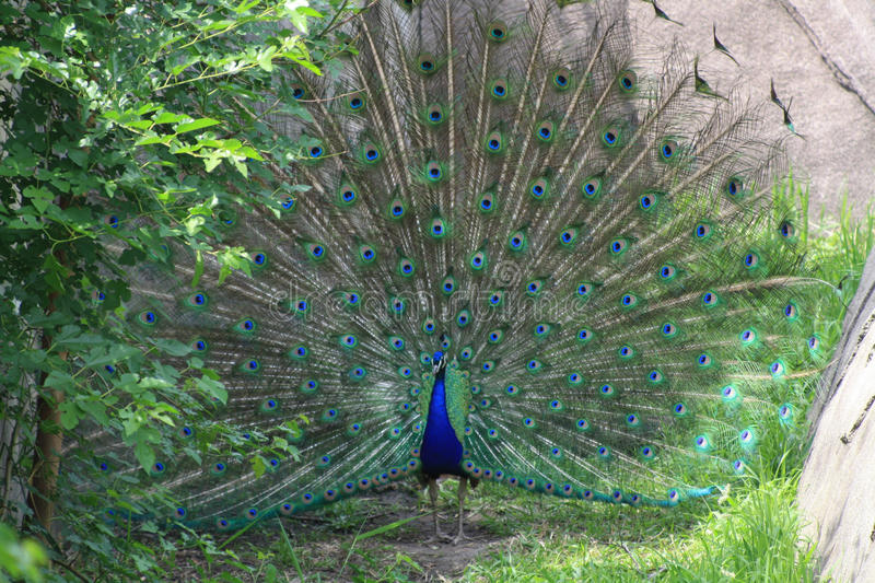 Glorious Peacock in full display. The male peacock mating ritual is to display his tail feathers to attract all females. He attracted me. The eyes on the stock photography