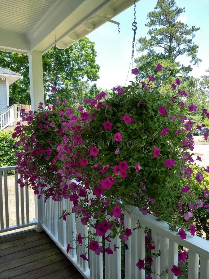 Glorious petunias in hanging baskets royalty free stock image
