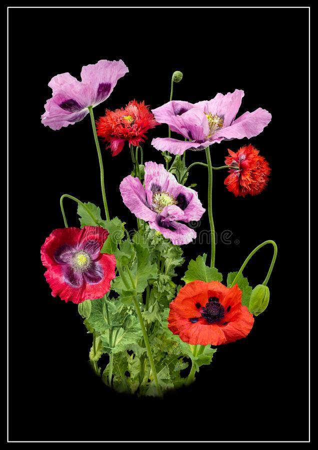 Glorious  Poppies. Picture of four different coloured poppies on a black background stock image
