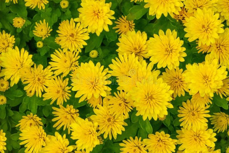 A Glorious Pot Mum Chrysanthemum -  Chrysanthemum Morifoliumm stock images