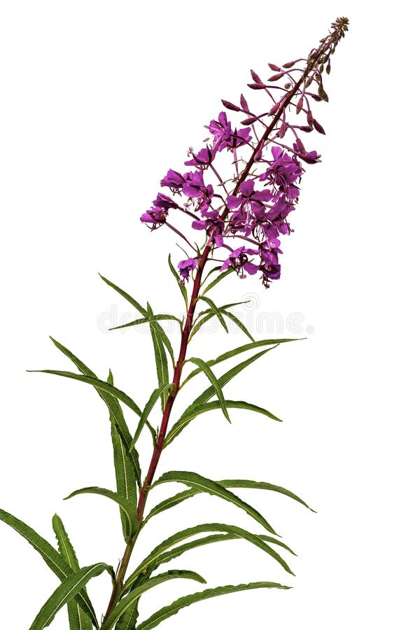Glorious Purple Weed. View of Purple coloured plant self seeded and grows like weed on a white background stock photo