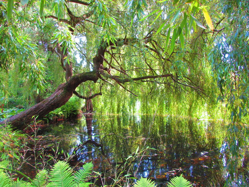 Glorious sunny lake view of a weepy willow tree. An abundantly luscious and green filled shot of a weeping willow tree above a lake. The sun pokes through to royalty free stock photos