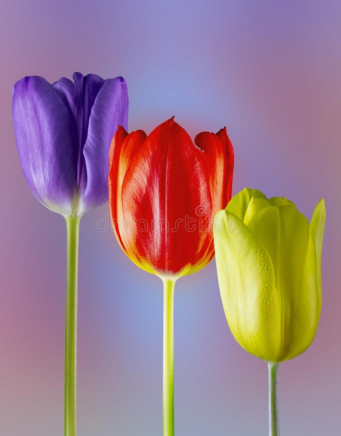 Glorious  Tulips. Picture of three different coloured tulips on a diffused background royalty free stock photography