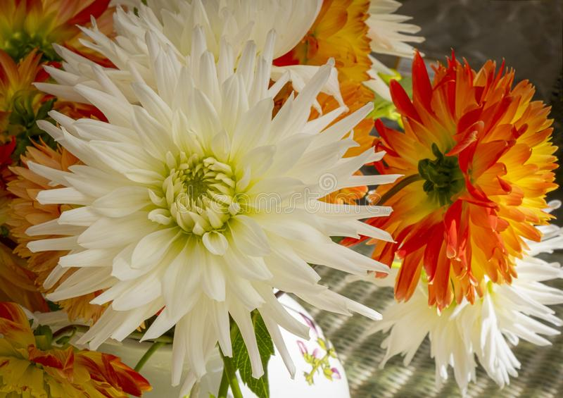 Glorious white Dahlia. Closeup view of white and red dahlias in full bloom royalty free stock photography
