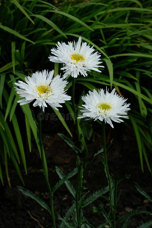 Glorious White Leucanthemum. Picture of white Daisies in a flower bed with a dark background royalty free stock image