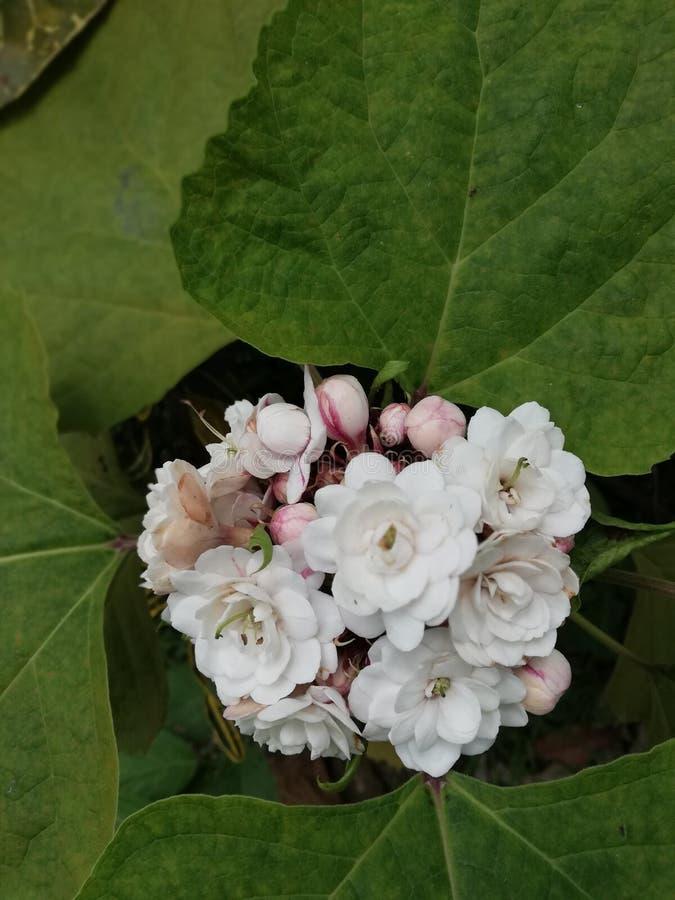 Glory Bower flower. Blossom in garden stock images