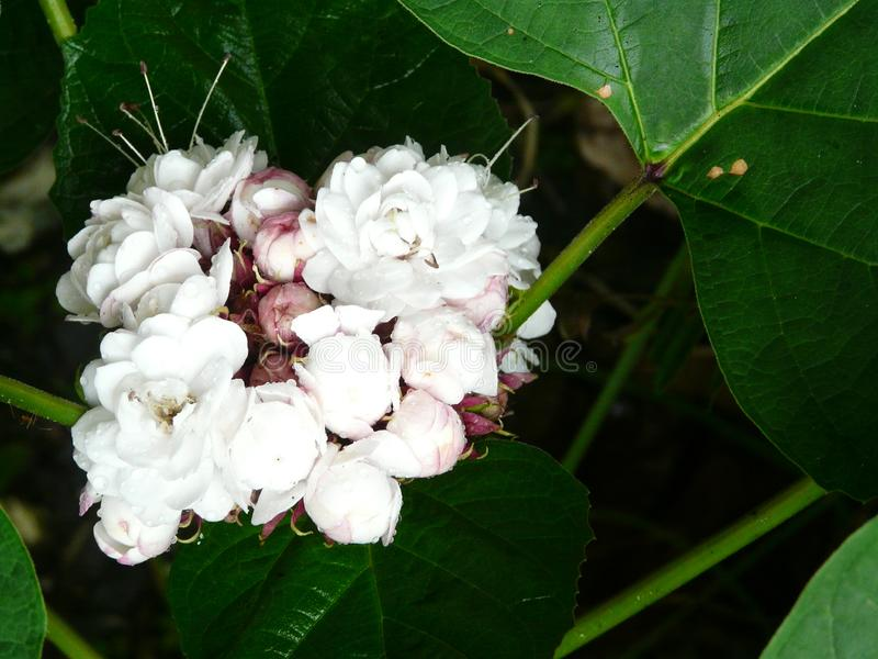 Glory bower 4. Glory bower of white and purple shades offers sweet romantic fragrance in sunlight stock image