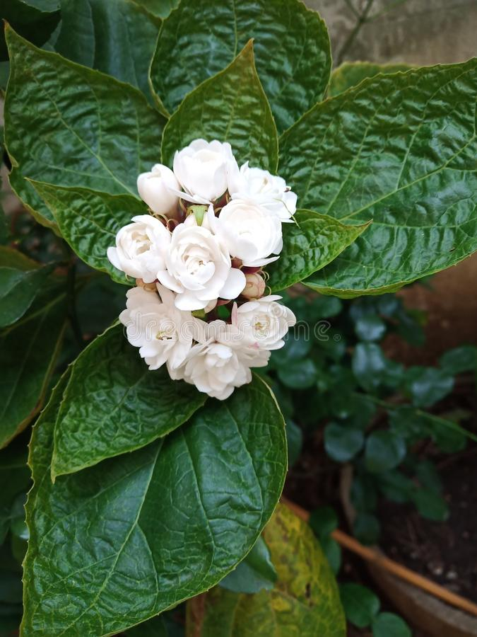 Glory Bower rose Clerodendrum white royalty-vrije stock afbeeldingen