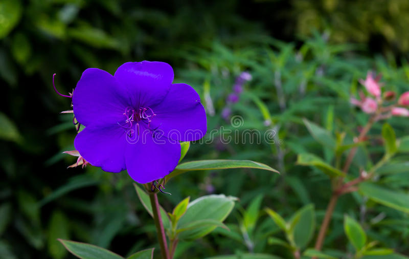Glory Bush Purple Princess Flower Tibouchina Urvilleana imagens de stock